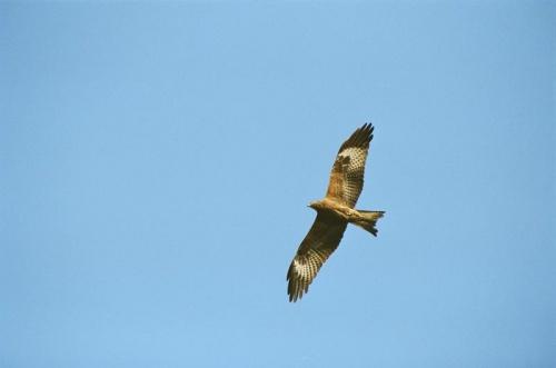 Ярок полет коршуна в пустынном небе