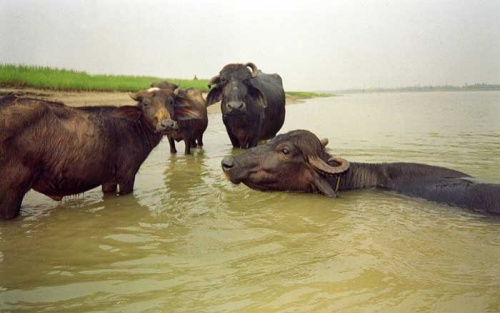 буйволы купаются