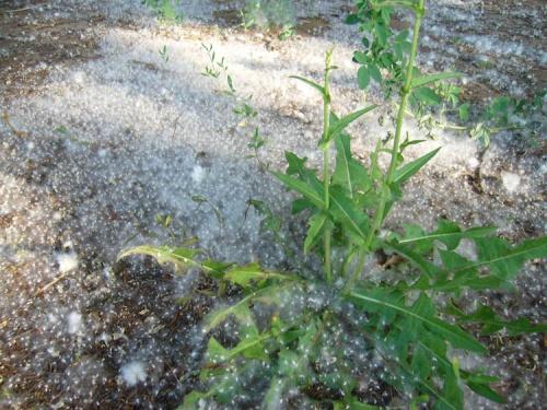 Тополиный пух (жара, июнь прилагаются)