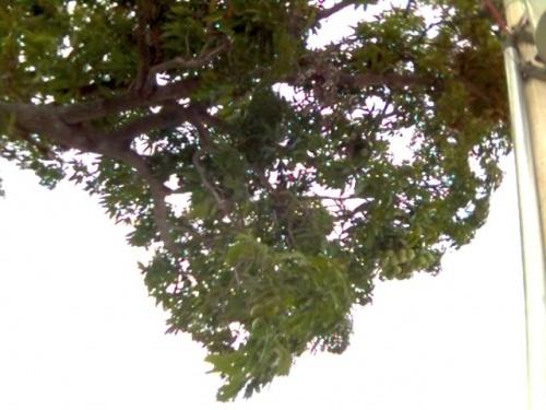 Манговое дерево-оно очень большое иногда-15-20 метра высота.