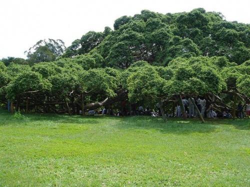 Фикус. Самое большое дерево в мире (по площади)