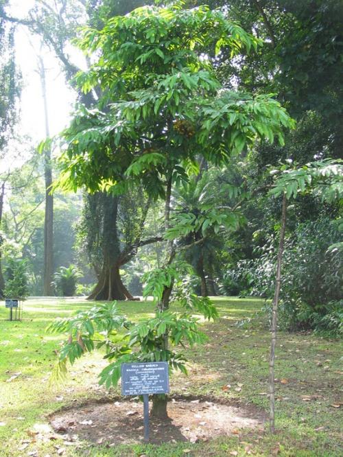 Перадения. Ботанический сад. Это посадил Юрий Гагарин.