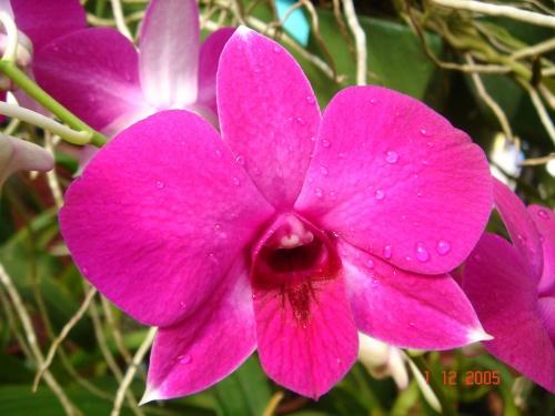 Перадения. Ботанический сад. Орхидеи.