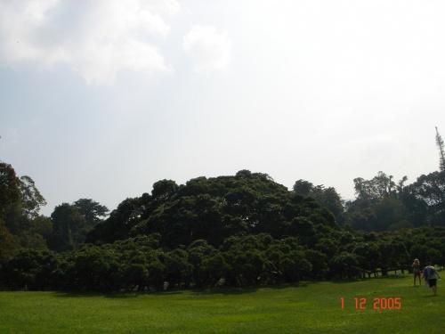 Перадения. Ботанический сад. Фикус Бенджамина.