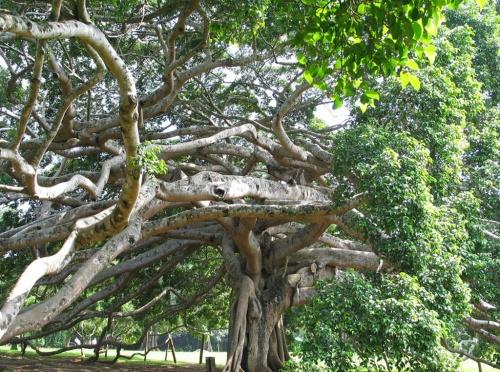 Перадения. Ботанический сад. Просто - корни фикуса.