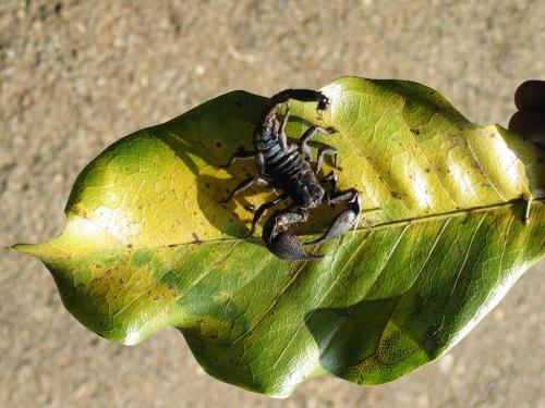 Перадения. Ботанический сад. Живой скорпион.