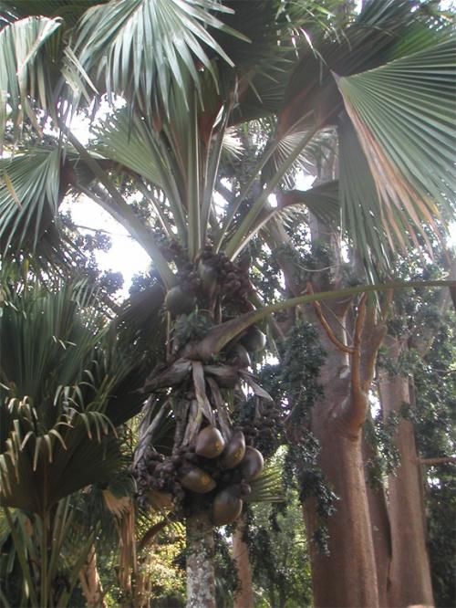 Перадения. Ботанический сад. Пронумерованные кокосы.