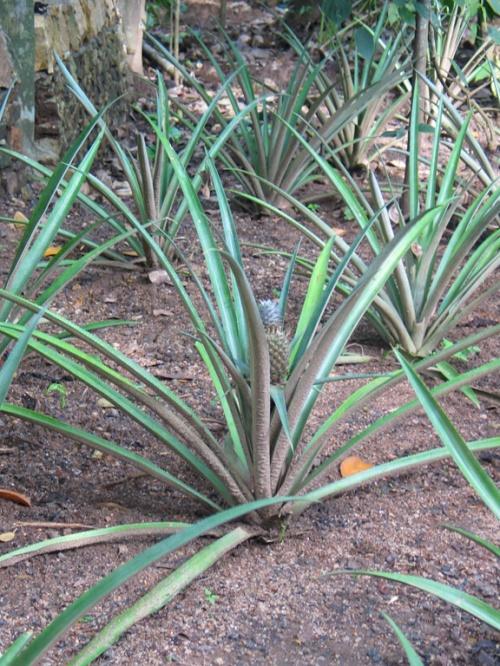 Матале. Сад специй. Вот как растут ананасы.