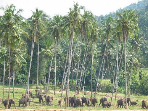Пинавелла. Слоновий питомник. На прогулке.
