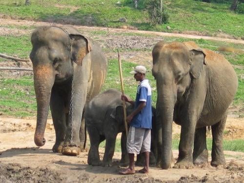 Пинавелла. Слоновий питомник. Вот он с пикой.