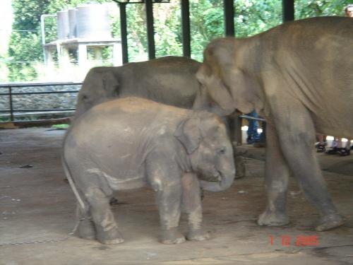 Пинавелла. Слоновий питомник. Ходил-бродил. Жара.