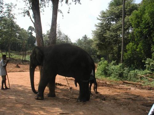 Пинавелла. Слоновий питомник. Ну, немного мужского стриптиза.