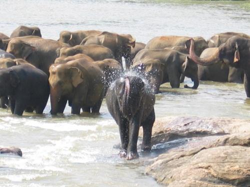 Пинавелла. Слоновий питомник. Купание.