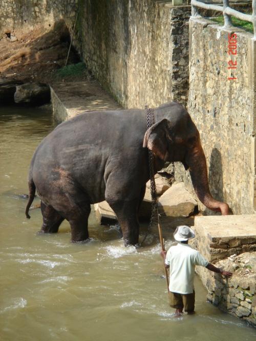 Пинавелла. Слоновий питомник. Упрямо уперся в стену, не хотел купаться.