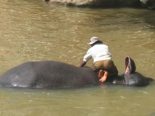 Пинавелла. Слоновий питомник. Вам спинку потереть?