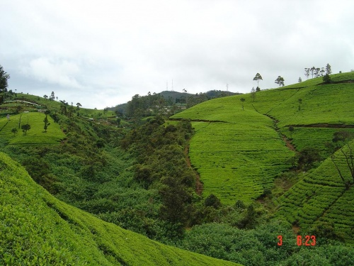 Это чайные плантации