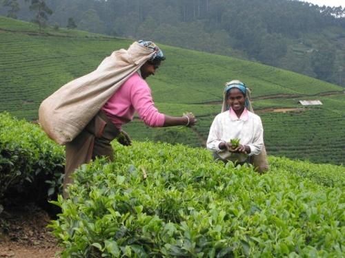 Сборщицы чая. Тяжелая у них работа..