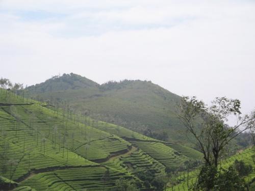 чай в Западных Гхатах