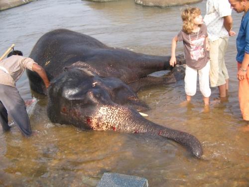 купание серого слона