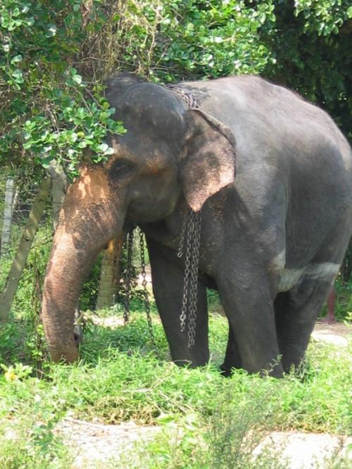 Шри-Ланка. Слон.