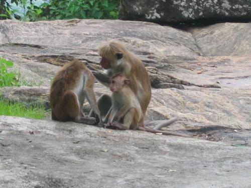 Шри-Ланка. Обезьяны.