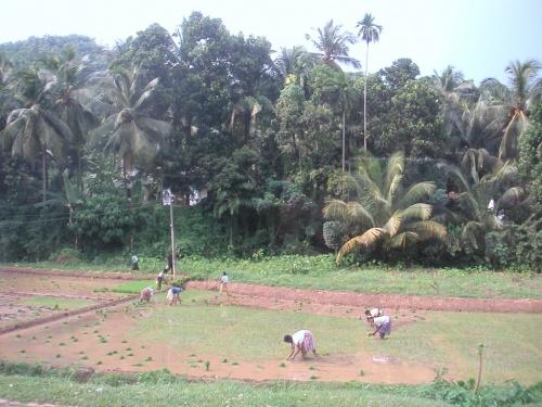 Шри-Ланка. Рисовые поля.