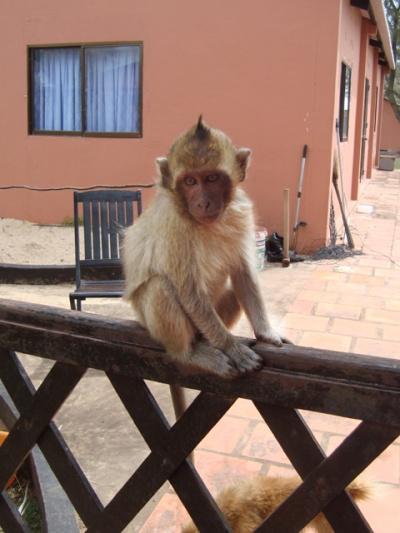 обезьянка на ферме