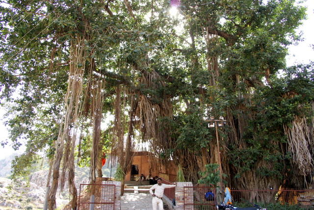 Индийская смоковница или баньян, может в своей тени скрыть целую деревню