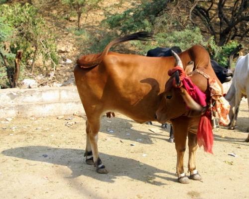 Священная корова тоже принарядилась