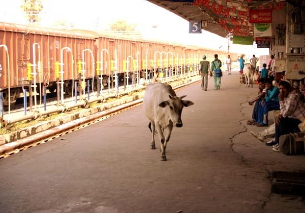 Священная корова провожает в Дели