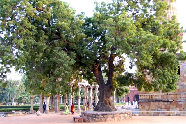 Культ дерева