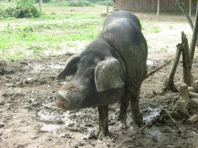 свинка :)