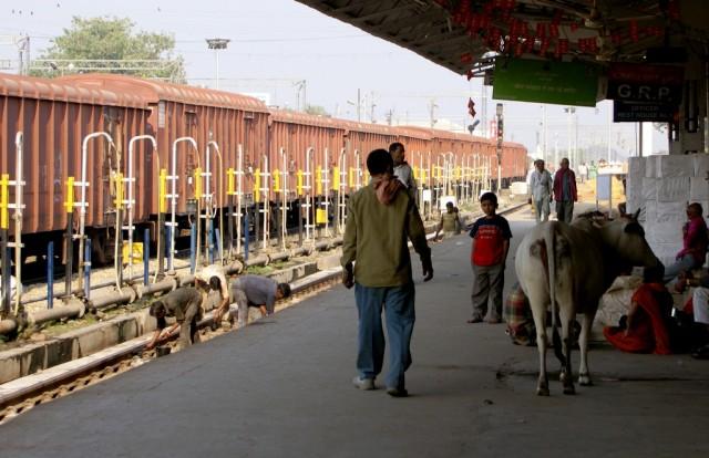 Священная корова хочет путешествовать