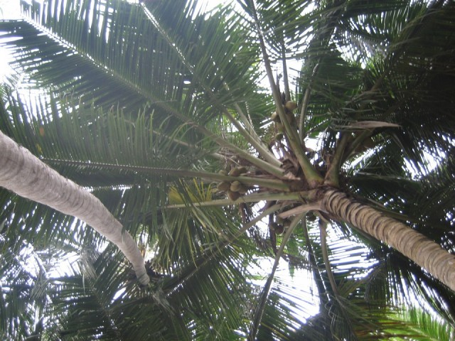 Кокосовая пальма прямо перед моим балконом. Рви не хочу.