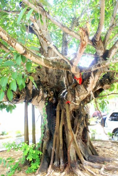 Баньян – типичный представитель тропиков
