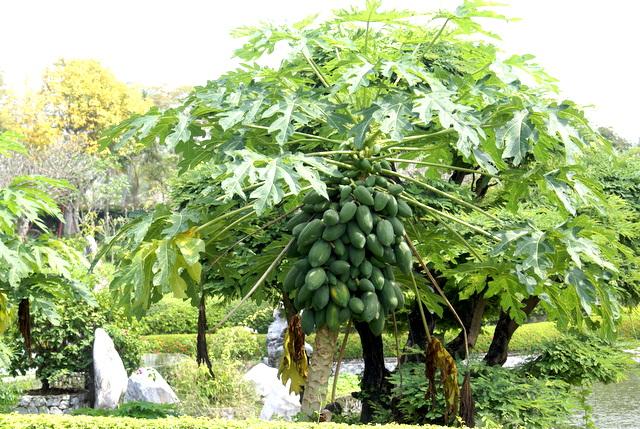 Плодородное дерево