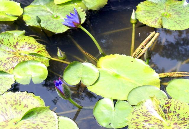 Необычный цветок  лотоса