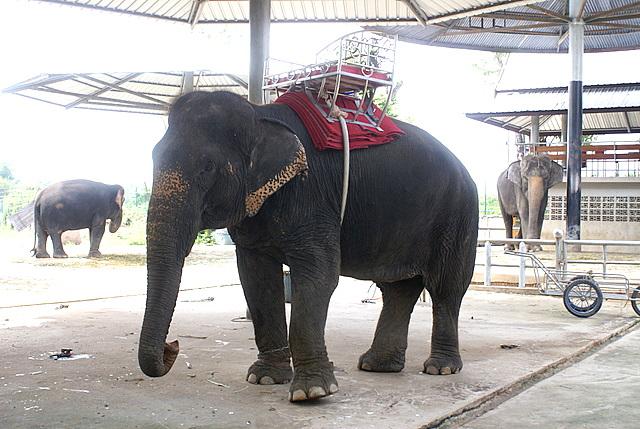 Обычный день обычного слона. Вот если бы он был белым…