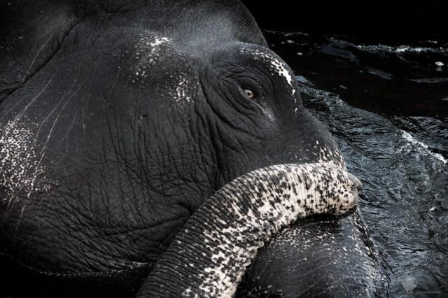 слонык рас