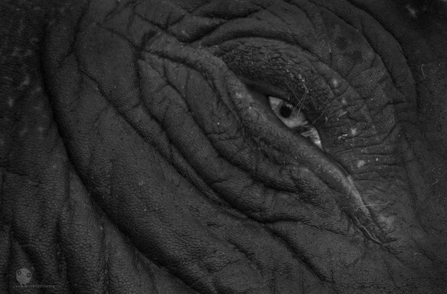 слон, лежащий в реке.