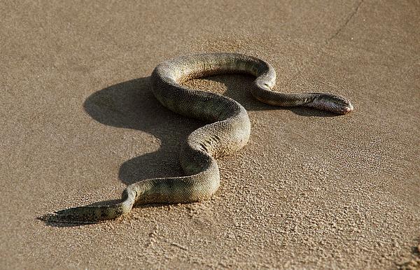 Морская змея. Очень ядовита.