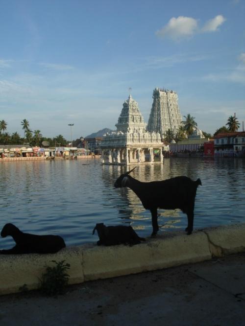 даже козы восхищаются Suchindrum Temple )))