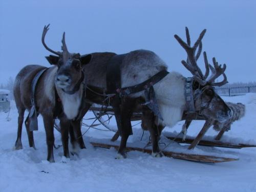 олежки местных оленеводов зимой