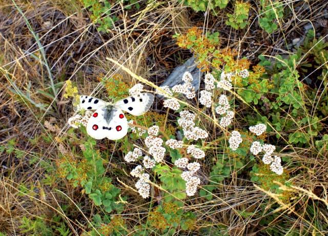 Апполон предпочитает заросли очитка которые встречаются в основном в гористой местности
