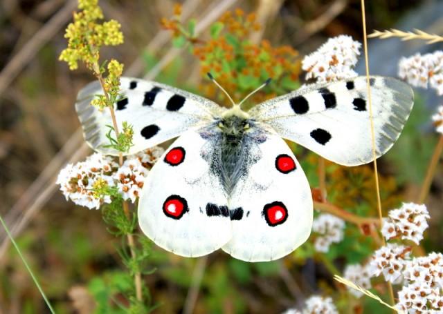 Летает Апполон  вальяжно, часто устает и садится на цветы