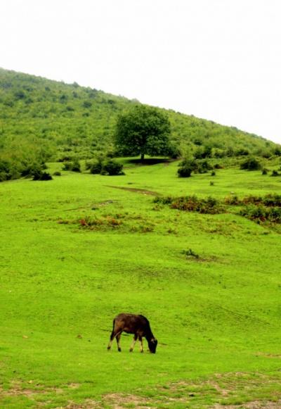 В горных лощинах пасутся коровы
