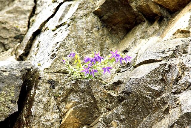 Среди камней растут цветы