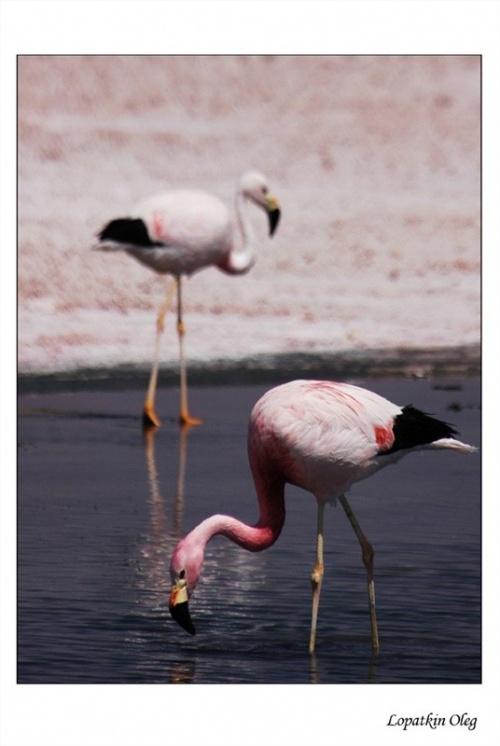 Фламинго на лагуне Чакса