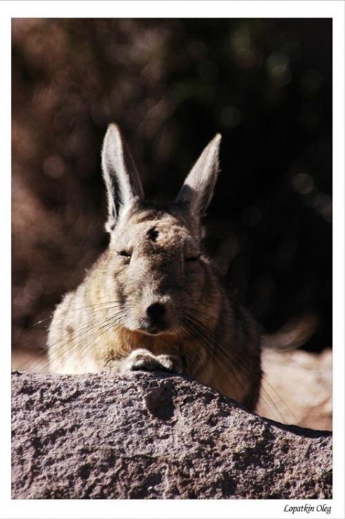 Что то между зайцем и тушканчиком...