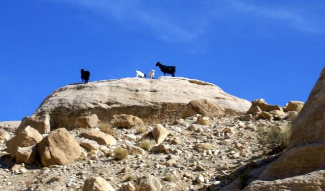 Мама с папой черные, а козлята – белые)